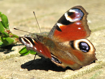 Inachis io (butterfly)