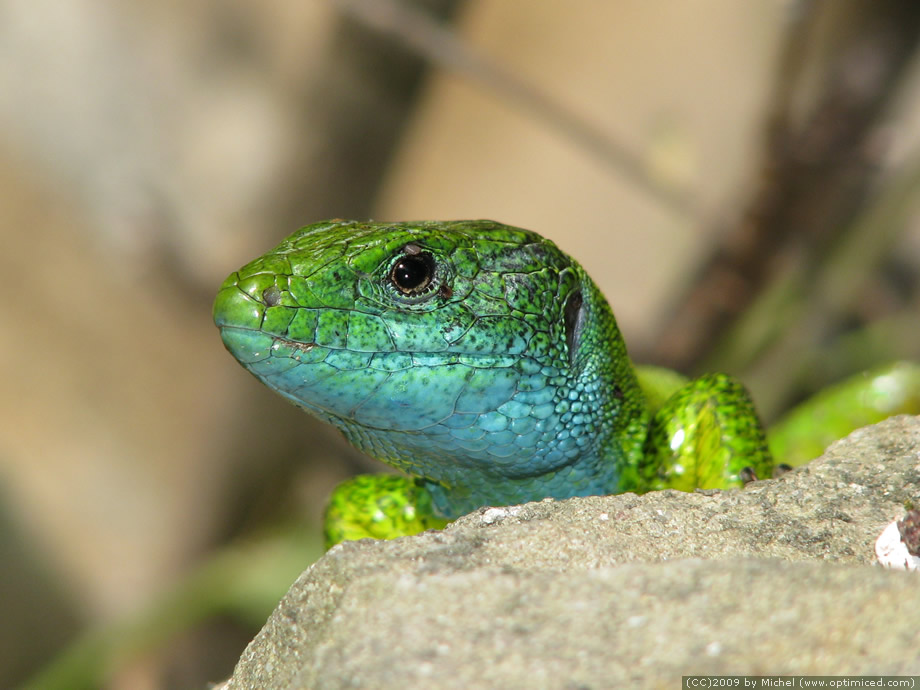 ... lizard is called European green lizard , and is also known as Lacerta