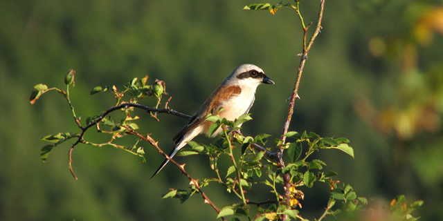 Red-backed Shrike (male), Rhodopes, Aug. 2nd, 2009