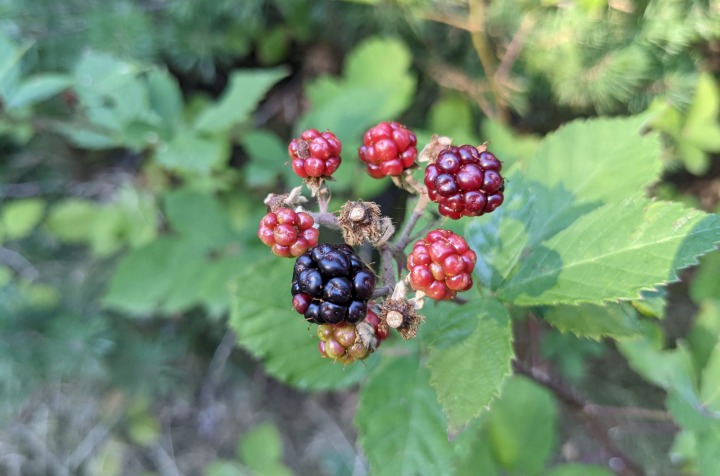 The forest of Marchaevo: Brambles.