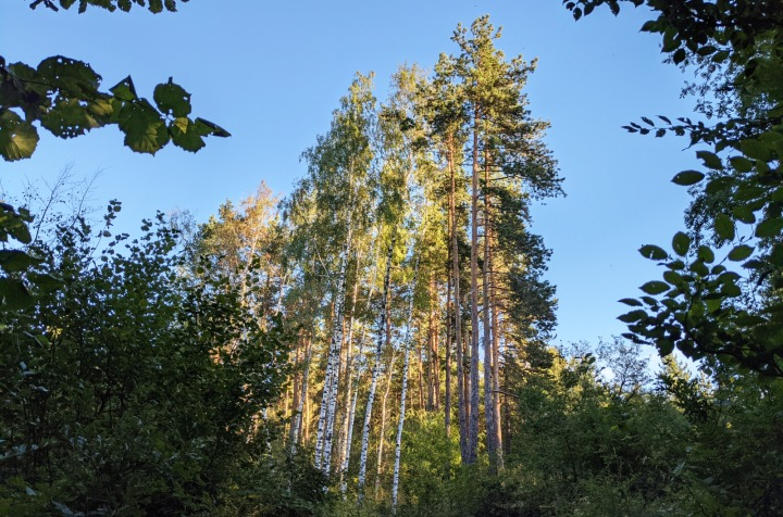The forest of Marchaevo: Birches at sunset.