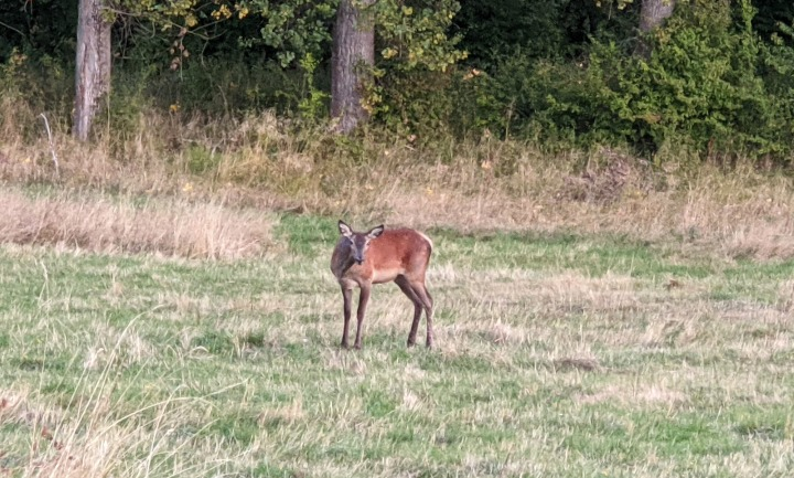 The forest of Marchaevo: A deer.